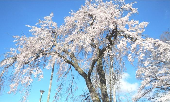 白馬岩岳マウンテンリゾート 周辺施設 しだれ桜